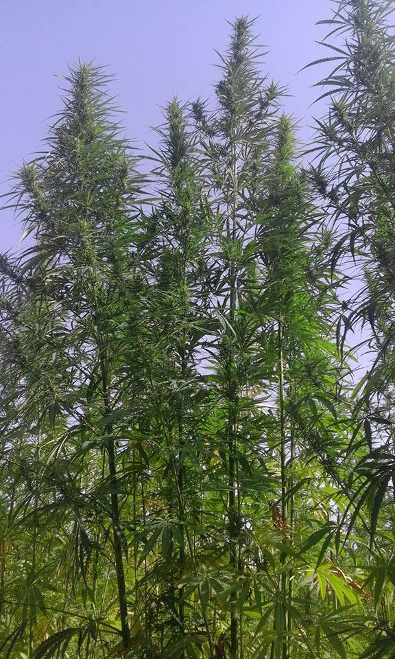 european certification hemp seeds